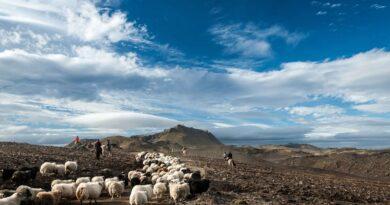 【冰島】千年傳統圈羊節。全民齊當牧羊人