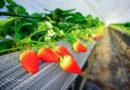 【京丹後】甜美的日本草莓。Blend Farm的現摘現吃半日遊