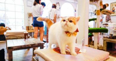 【曼谷】喵星人襲地球。曼谷Caturday Cat Cafe