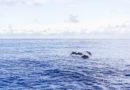 【花蓮】出海尋找野生海豚。多羅滿賞鯨經典行程