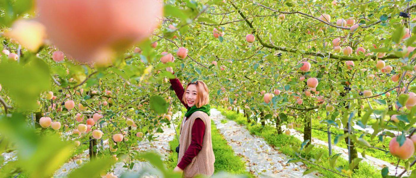 【忠清北道】動手炒拌壓切做蜜果。忠州摘蘋果體驗