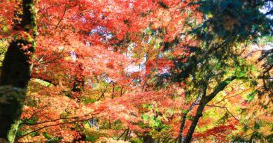 【山口】秋之紅楓。漫步大寧寺感受紅葉滿天
