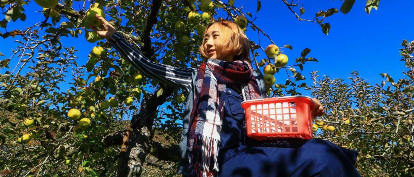 【山口】摘蘋果嚐蘋果。山口縣下瀨蘋果村